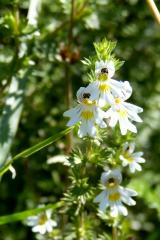 Euphrasia/eyebright
