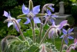 Borage/starflower